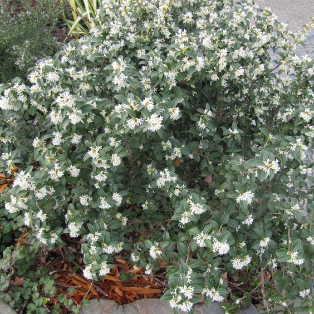 Osmanthus burkwoodii for Arbusti sempreverdi